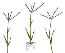 Bermuda grass seed heads